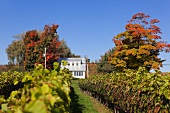 Kanada, Nova Scotia, Canning, Blomidon Estates Winery, Herbstlaub