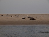 View of seals on sand from Gorch Fock at Lower Saxony, Germany