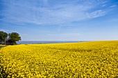 View of rape field on Brodtener shore near Baltic sea, Schleswig Holstein, Germany