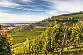 Freiburger Weinbauinstitut, Weinberg e bei Ihringen im Kaiserstuhl