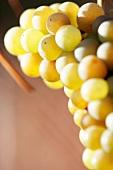 Riesling grapes (close-up)