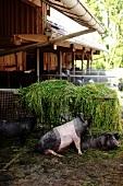 Deutschland, München, Schweine
