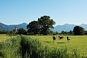 Deutschland, München, Weide, Kühe
