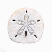 Sand Dollar on a White Background