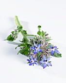 Borage with flowers (Borago Officinalis)