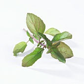 A sprig of mint (Mentha X Piperiata Var. Citrata)