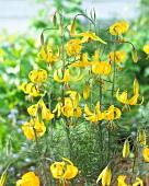 Wild yellow lilies (Lilium Yellow Bunting)