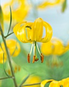 Yellow lilies (Lilium Yellow Bunting)