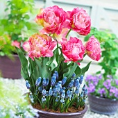 Pink tulips and grape hyacinths in a plant pot