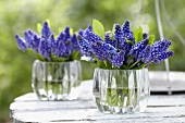 Blue grape hyacinths in glass vases on a table in a garden
