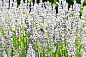 Bees in a lavender field