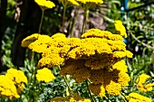 Flowering fernleaf yarrow (Achillea Filipendulina)