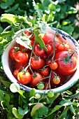Freshly picked tomatoes in a bowl in a garden