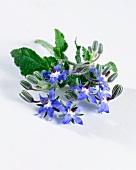 Borage with flowers (Borago Officinalis)