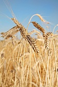 Light emmer wheat (ears in a field)