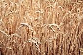 Winter wheat in a field