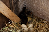 Runner duck chick and eggs in a nest