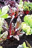 Chard in a vegetable patch