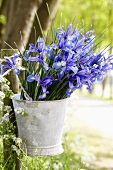 Iris in a zinc pot