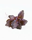 Fresh purple basil