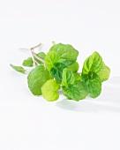 Fresh mint (Mentha Crispa)