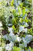 Kohlrabi and chard in a vegetable patch
