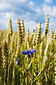 Corn flowers in a wheat field