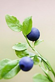 Two blueberries on a sprig