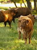 Baby and Adult Brown Cows in Pasture