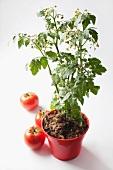 A tomato plant in a pot
