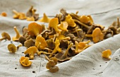 Fresh chanterelles on a burlap bag