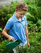 A boy picking blueberries