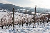 Verschneite Reben im Winterlicht (Markgräflerland)