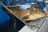 A carp in a net