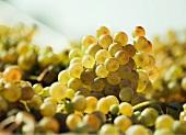 White wine grapes (close-up)