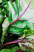 Chard Leaves; Close Up