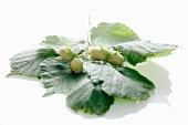 Unreife Haselnüsse mit Blättern