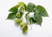Hops umbels with leaves