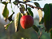 A red apple on the branch