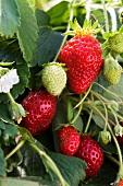 Reife und unreife Erdbeeren an der Pflanze