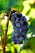 Norton grapes on vine (Rappahannock Cellars, Huntly, Virginia, USA)