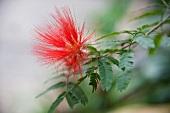 Red acacia blossom