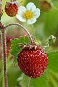 Wild strawberry on the plant