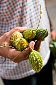 A man hold bitter gourds (Mauritius)