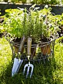 Herbs in pots with garden tools