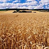 A wheat field and a farmhouse