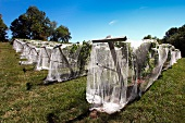 Vines covered with nets to keep birds off in Linden, Virginia, USA