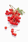 Rowan berries on a white surface