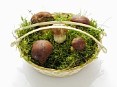 Five bay boletes in a basket of moss
