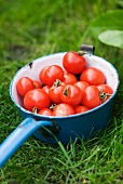 Tomatoes in a pan on the grass